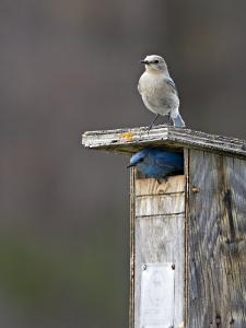 Mountain Bluebirds, British Columbia, Canada by Charles Sleicher