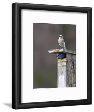 Mountain Bluebirds, British Columbia, Canada