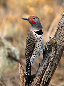 Northern Flicker, Oregon, USA by Charles Sleicher