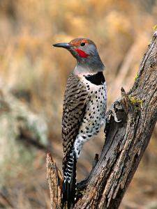 Northern Flicker, Oregon, USA by Charles Sleicher
