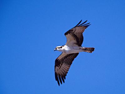 Osprey Chick in Flight