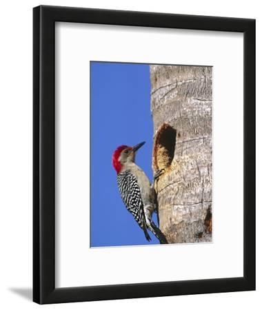 Red-Bellied Woodpecker, Everglades National Park, Florida, USA
