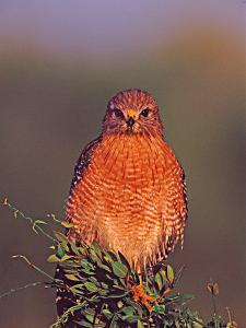 Red-Shouldered Hawk in Early Morning Light by Charles Sleicher