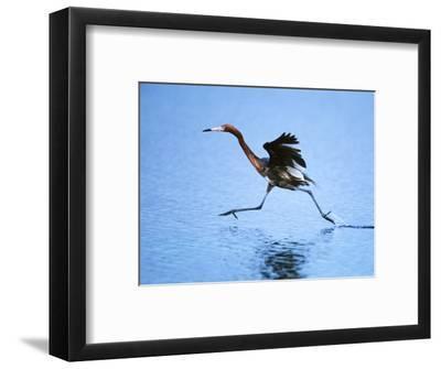 Reddish Egret Fishing, Ding Darling National Wildlife Refuge, Sanibel Island, Florida, USA