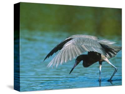 Reddish Egret Fishing in Shallow Water, Ding Darling NWR, Sanibel Island, Florida, USA