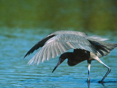 Reddish Egret Fishing in Shallow Water, Ding Darling NWR, Sanibel Island, Florida, USA by Charles Sleicher