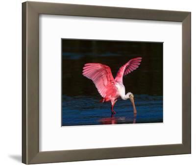 Roseate Spoonbill, Ding Darling National Wildlife Refuge, Sanibel Island, Florida, USA