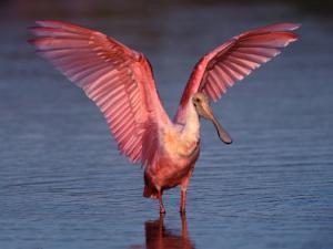 Roseate Spoonbill with Wings Spread by Charles Sleicher