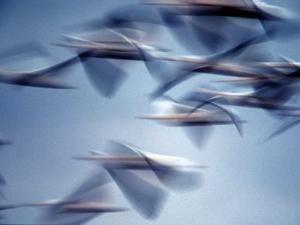 Snow Geese in Flight at the Skagit Flats, Washington, USA by Charles Sleicher
