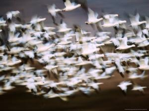 Snow Geese in Flight, Skagit Valley, Skagit Flats, Washington, USA by Charles Sleicher