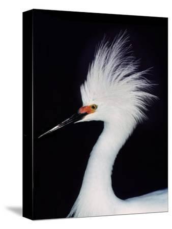 Snowy Egret in Breeding Plumage, Ding Darling National Wildlife Refuge, Sanibel Island, Florida,