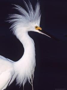 Snowy Egret in Breeding Plumage by Charles Sleicher