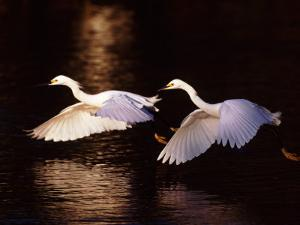 Snowy Egrets in Flight at Dawn by Charles Sleicher