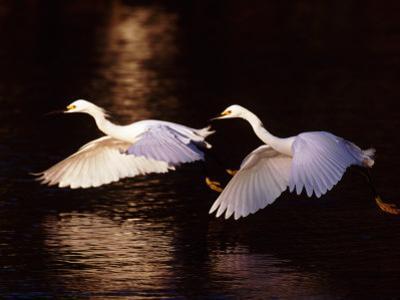 Snowy Egrets in Flight at Dawn