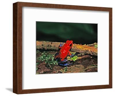 Strawberry Poison Dart Frog, Rainforest, Costa Rica