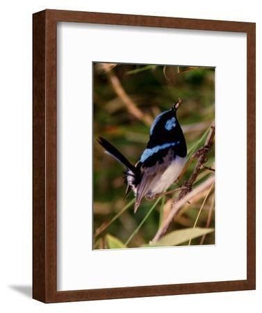 Superb Fairy-Wren or Blue Wren., Australia