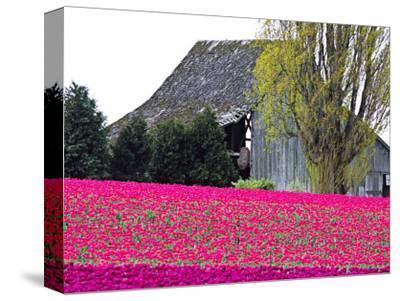 Tulip Field and Barn, Skagit Valley, Washington, USA