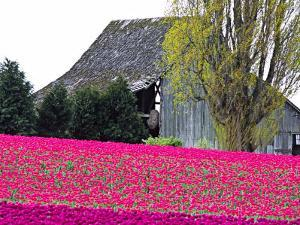 Tulip Field and Barn, Skagit Valley, Washington, USA by Charles Sleicher