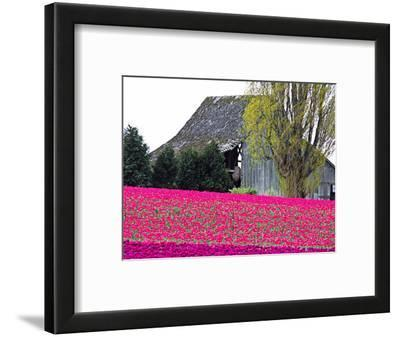 Tulip Field and Barn, Skagit Valley, Washington, USA