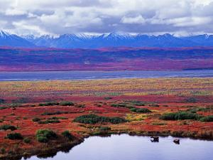 Tundra of Denali National Park with Moose at Pond, Alaska, USA by Charles Sleicher