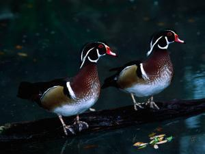 Two Male Wood Ducks, Florida, USA by Charles Sleicher