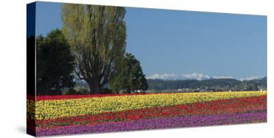 Washington, Skagit Valley, Mount Vernon. Tulip Field with the Olympics