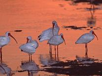 Great Blue Heron Fishing at Sunset, Sanibel Island, Ding Darling National Wildlife Refuge, Florida-Charles Sleicher-Photographic Print