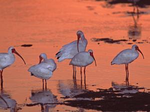 White Ibis, Ding Darling National Wildlife Refuge, Sanibel Island, Florida, USA by Charles Sleicher