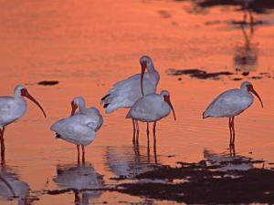 White Ibis, Ding Darling National Wildlife Refuge, Sanibel Island, Florida, USA by Charles Sleicher