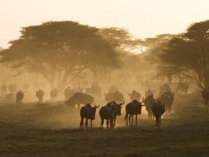 Wildebeest Migration, Tanzania by Charles Sleicher