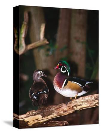 Wood Duck, Florida, USA