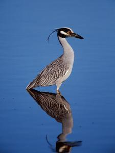 Yellow-crowned Night Heron Wading in Shallow Water, Ding Darling NWR, Sanibel Island, Florida, USA by Charles Sleicher