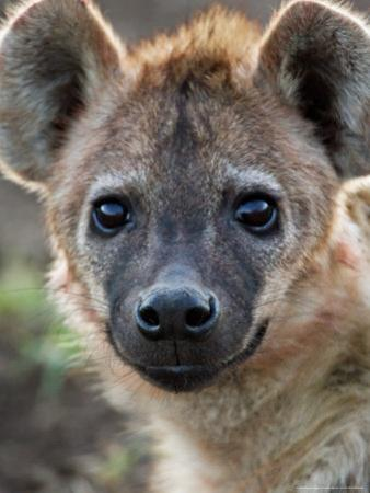 Young Spotted Hyena, Tanzania by Charles Sleicher