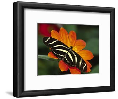 Zebra Longwing Butterfly, Selva Verde, Costa Rica