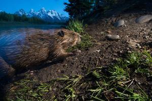 A beaver at Schwabacher Landing in Grand Teton National Park. by Charlie Hamilton James