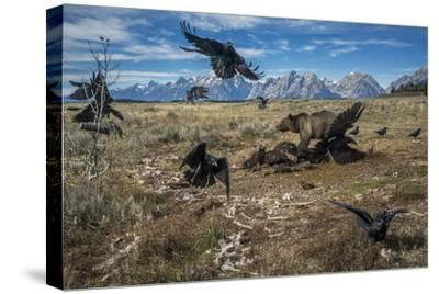 A grizzly bear fends off ravens to feed on a bison carcass.