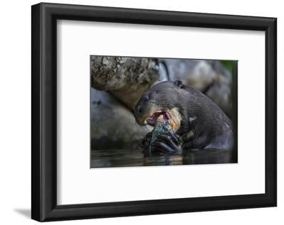The Giant Otter Grows Up to Six Feet Long and Eats Up to Eight Pounds of Fish a Day