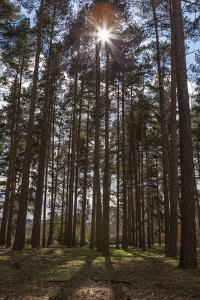 Tall Trees with Sunlight Breaking Through, Virginia Water, Surrey, England, United Kingdom, Europe by Charlie Harding