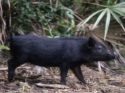 Wild Hog, Sus Scrofa, Southern USA