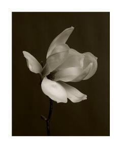White Magnolia Flower by Charlie Hopkinson