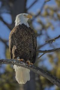 A Bald Eagle Perches on a Tree Branch in Grand Teton National Park by Charlie James