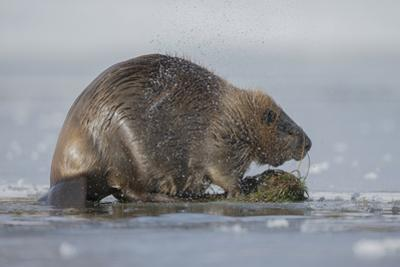 A Beaver Shakes Water from its Pelt by Charlie James