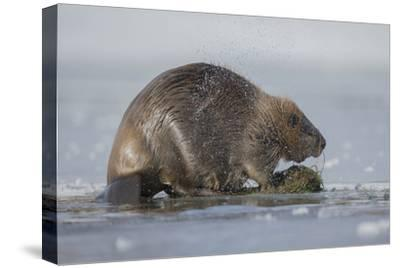 A Beaver Shakes Water from its Pelt