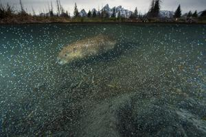 A Beaver Swimming at Schwabacher Landing in Grand Teton National Park by Charlie James