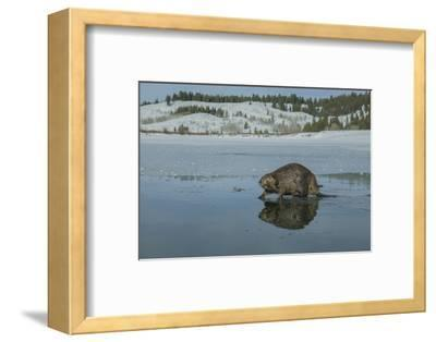 A Beaver Walking on the Partially Frozen Snake River