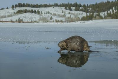 A Beaver Walking on the Partially Frozen Snake River by Charlie James