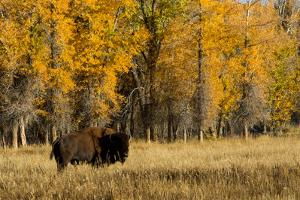 A Bison Stands in Grand Teton National Park by Charlie James
