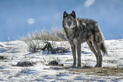 A Lone Member of the Phantom Springs Wolf Pack Stands in Grand Teton National Park by Charlie James
