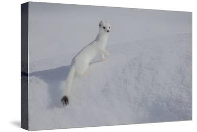 A Long Tailed Weasel Rests in the Snow in Grand Teton National Park
