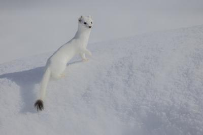 A Long Tailed Weasel Rests in the Snow in Grand Teton National Park by Charlie James